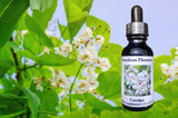 Catalpa blooms with essence bottle