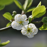 Cherry plum flowering branch