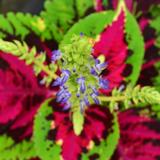 Coleus Flower Essence