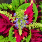 Cropped Coleus Flower
