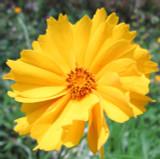 Single yellow Coreopsis flower
