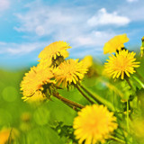Cropped Dandelion flowers