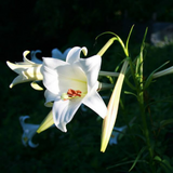 White trumpet lilies