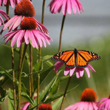 Cropped Echinacea Flower with butterfly