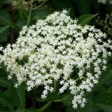 Cropped Elder Flower