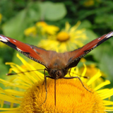 Elecampane flower with butterfly