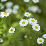 White Feverfew flower spray