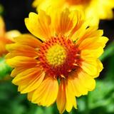 Macro yellow Gaillardia Flower