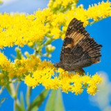 Goldenrod flowers, blue sky and butterfly