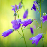 Cropped Harebell Flower