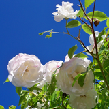 Cropped Iceberg Rose Flower