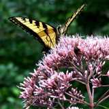 Eupatorium with butterfly