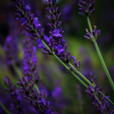 Dark lavender flowers