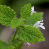 Cropped Lemon Balm Flower