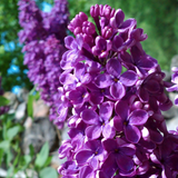 Cropped Lilac flower