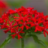 Maltese Cross flower head