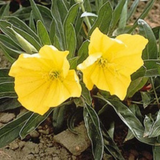Missouri Primrose Flower closeup of plant