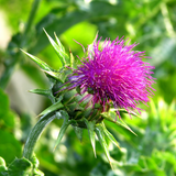 Milk Thistle Flower Essence