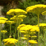 Cropped Moonshine Yarrow Flower