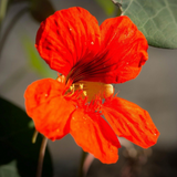 cropped Orange nasturtium flower