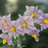 Cropped Potato Flower