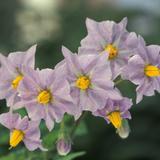 Purple potato flower cluster