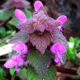 Purple Archangel Flower