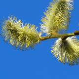 Pussy Willows in bloom against blue sky