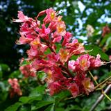 Red Chestnut bloom closeup