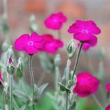 Lychnis coronaria flowers