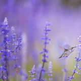 Russian Sage flowers with hummingbird and purple haze in the background