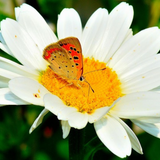 Closeup of Shasta Daisy Flower with butterfly