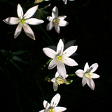 Star of Bethlehem Flower cluster on black background