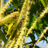 Sweet Chestnut flowers