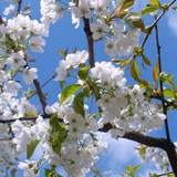 Looking up at white cherry blossoms against a blue sky with wispy clouds