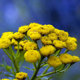 Closeup of tansy flower cluster
