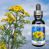 Tansy flower essence bottle with tansy plant blooming near water