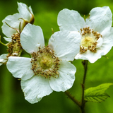 Cropped image of Thimbleberry Flower