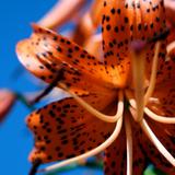 Orange Tiger Lily against blue sky