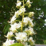 White Chestnut Flower Essence