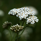 Cropped image of white Yarrow Flower Essence