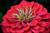 Zinnia Flower Essence