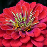 Cropped image of a Zinnia