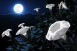 Datura flowers in moonlight
