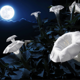 Moonflowers or Angels Trumpets in moonlight