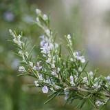 Rosemary Flower Essence