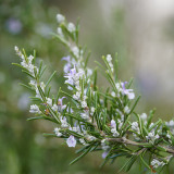 Rosemary Flower Essence