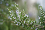 Rosemary branch in flower