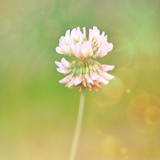 Cropped image of a clover flower in a field