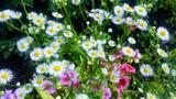 Fleabane in garden